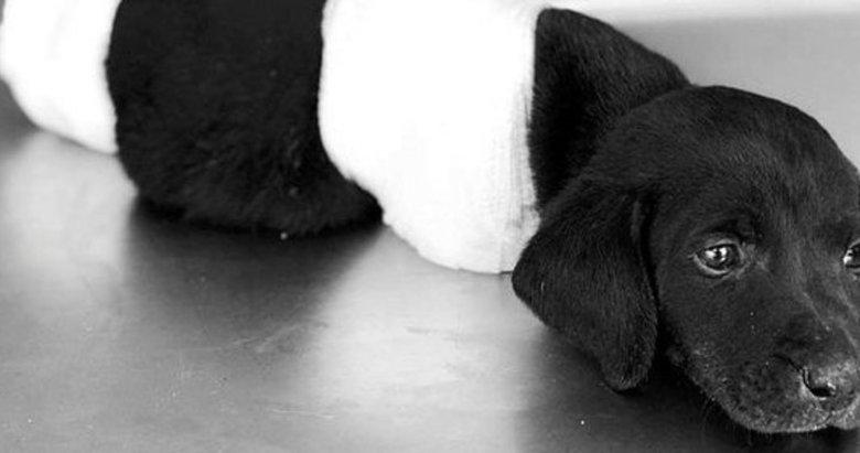 Bacakları kesilerek ölüme terk edilen yavru köpek vahşetinde flaş gelişme!