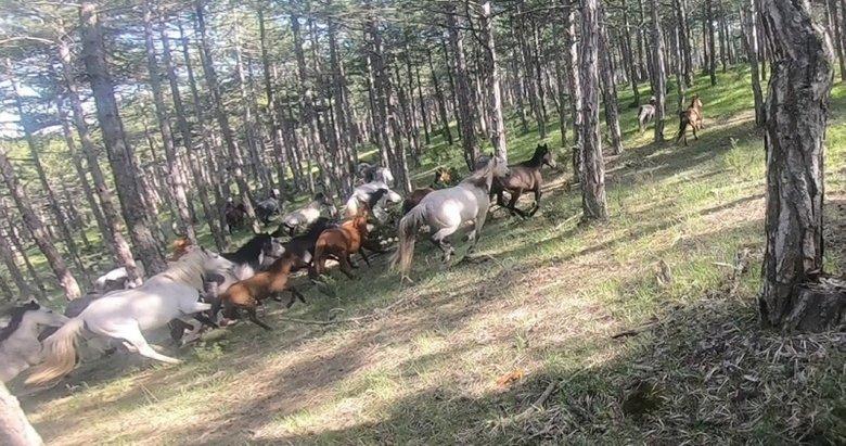 Kütahya'da nadir olarak görülen yılkı atları motokros kamerasıyla görüntülendi