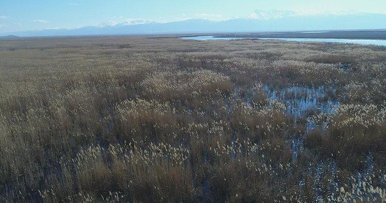 Göl kenarındaki sazlar enerjiye dönüşecek