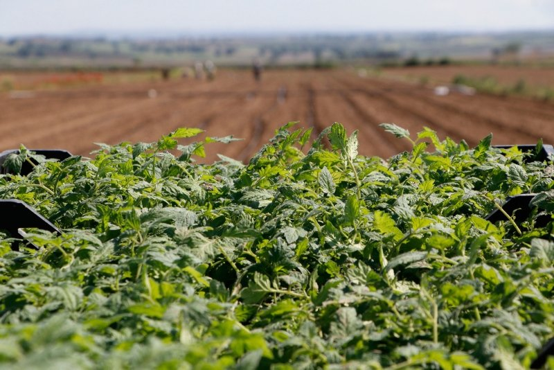 Meşhur Çanakkale domatesinin fideleri toprakla buluştu