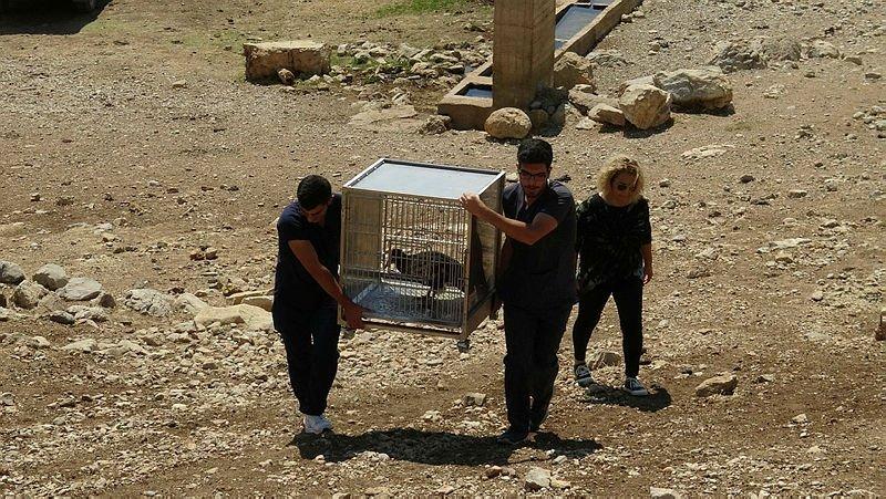 Afyonkarahisar'da yakalanan Mısır Akbabası 4 ay sonra doğaya salındı