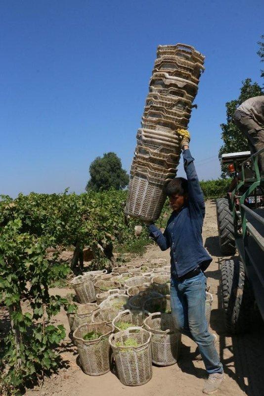 Manisa'da üzüm üreticilerinin bir yıllık emeği çalındı