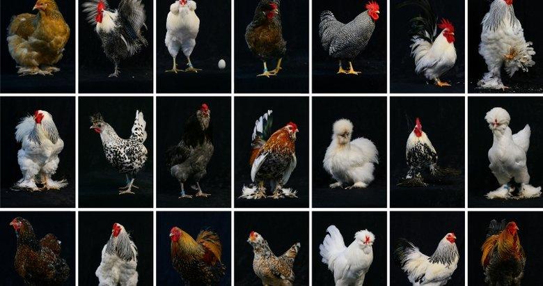 Süs tavukları İzmir'de podyuma çıktı