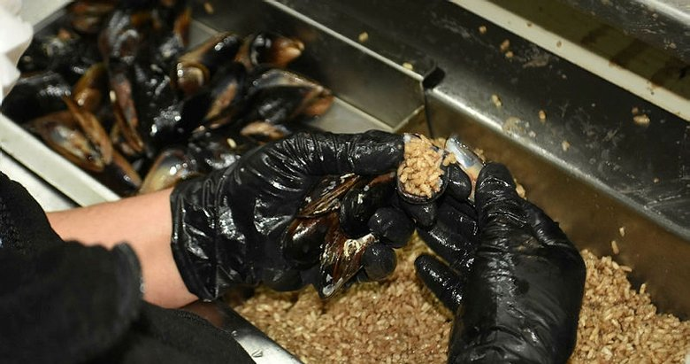 Midye nasıl yapılır? Midyede dikkat edilmesi gereken şeyler neler? Felce yol açabilir! İşte denizden sofraya midyenin yolculuğu