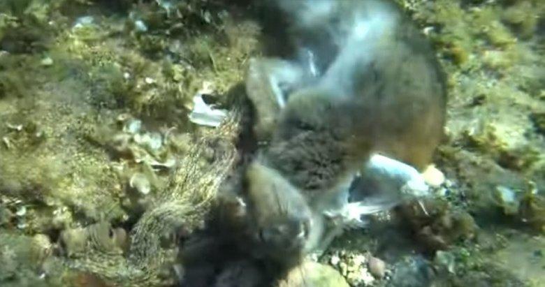 Ahtapot tavşanı yedi!