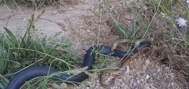 Ölümcül yılanların şoke eden kavgası