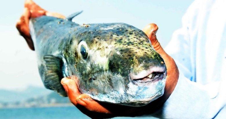 Ege'de balon balığı sevinci