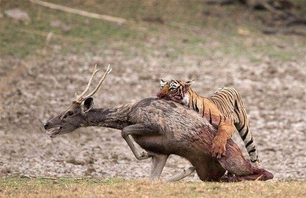 Vahşi doğada ender rastlanan olay!