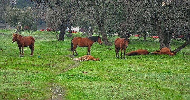 Aç kalan yılkı atları, şehir merkezine indi