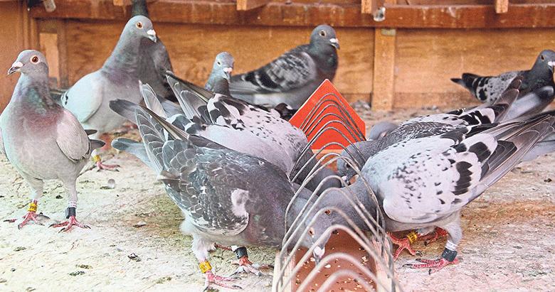 Fethiye'nin posta güvercinleri