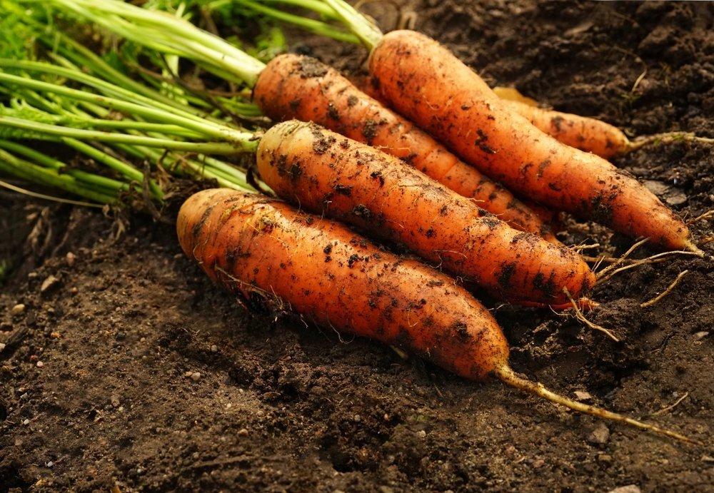корнеплода моркови картинки сам