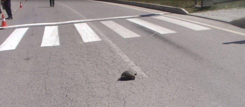 Kütahya'da yaya geçidinden geçen kaplumbağa trafiği durdurdu