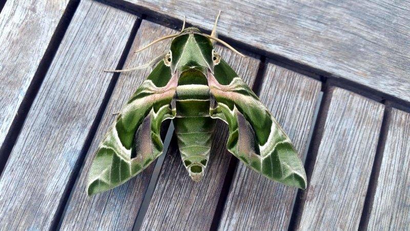 Bodrum'da nadir rastlanan'Daphnis Nerii' kelebeği görüldü