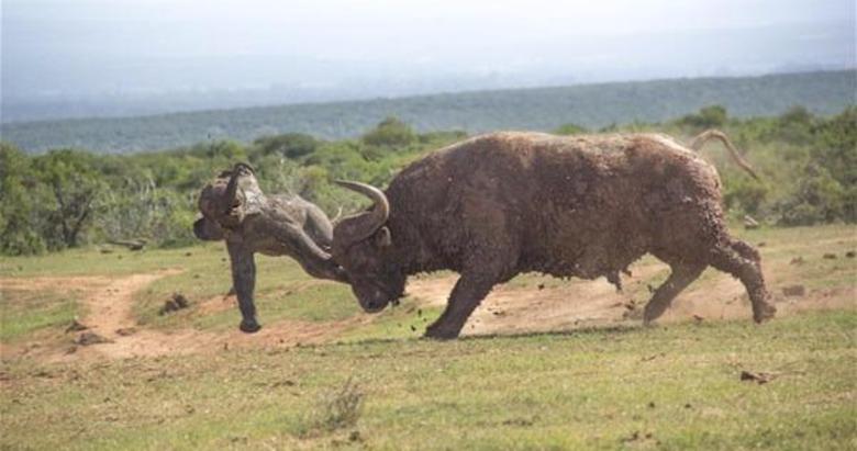Bufalo hayatının hatasını yaptı! O hamlesi sonunu hazırladı...