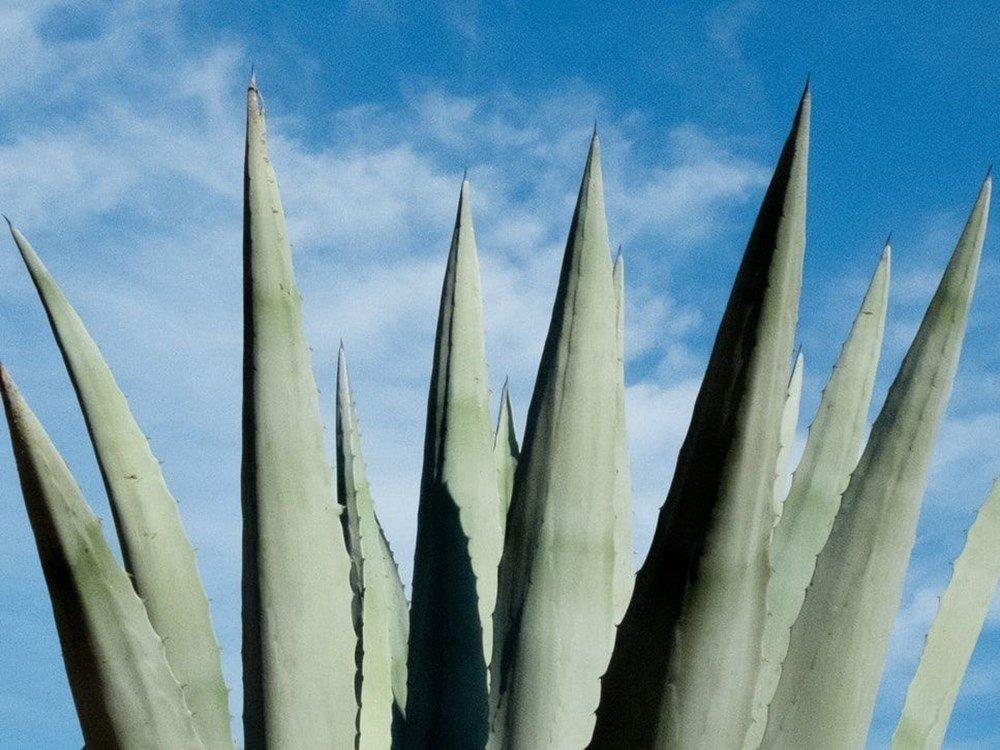 Aloe Vera bitkisine nasıl bakılır? Aloe Vera nasıl kullanılır?