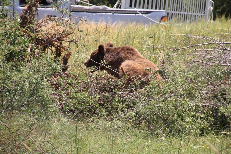 Bahçe teline takılan boz ayıyı, kurtarmak için seferber oldular
