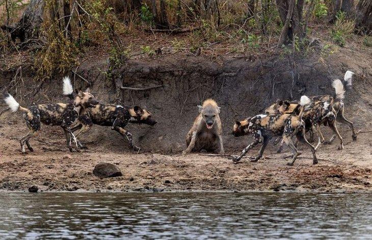 Vahşi doğada hayvanların karşılaşması nefes kesti
