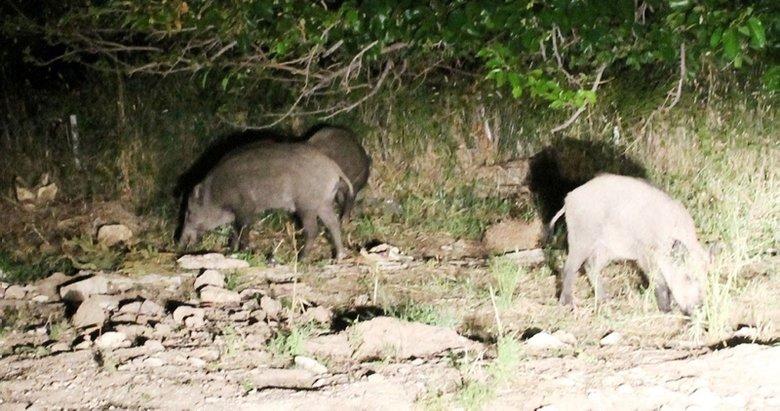 İncir üreticisi domuz nöbetinde