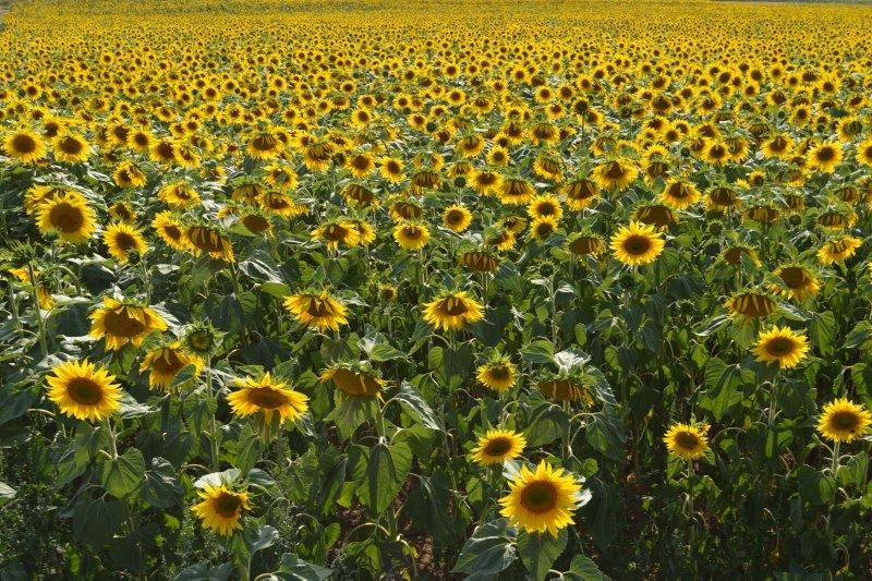 Afyonkarahisar ve Kütahya arasındaki Güne aşık tarlaları görenleri etkiliyor