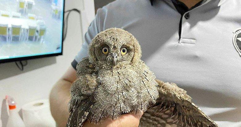 Yuvadan düşen yavru baykuş korumaya alındı