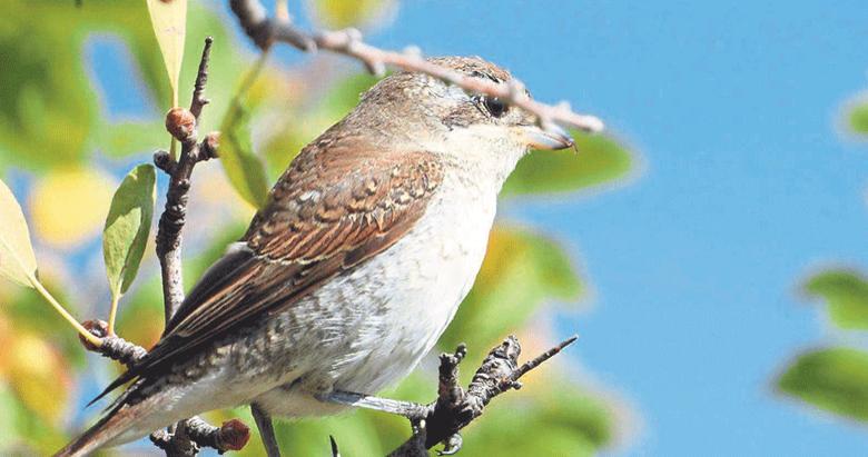 Buldan'da bir günde 240 kuş gözlemlendi