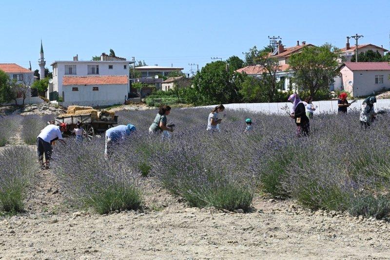 Gelibolu Tarihi Yarım Adası'nda lavantalar çiçek açtı!