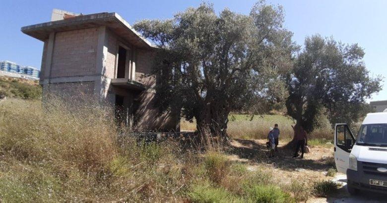 Bitişiğine villa yapılan 1500 yıllık zeytin ağacının tescili için çalışma başlatıldı