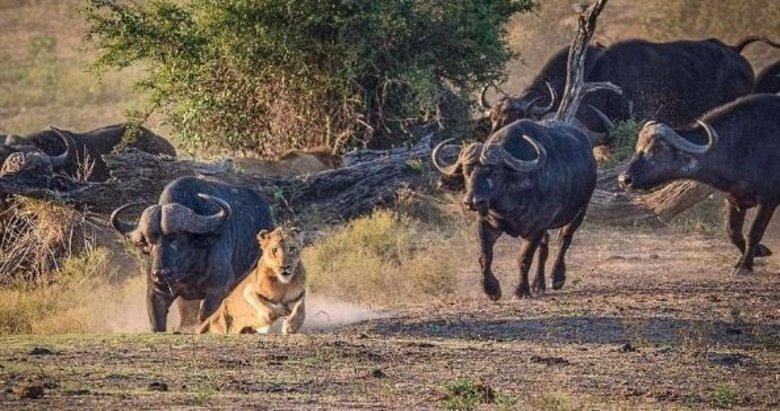 Ava giderken avlandı! Aslanların zor anları...