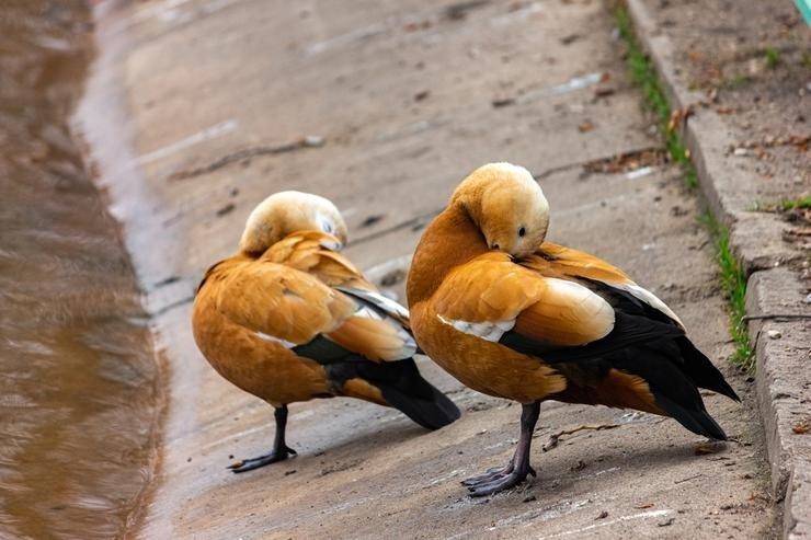 Kümesinde angut ördekleri bulunan şahsa cezai yaptırım uygulandı