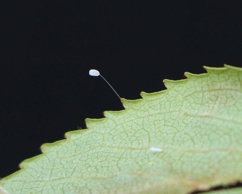 3 bin yılda açtığına inanılan 'udumbara' çiçeği Çanakkale'de görüldü