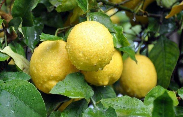 Limonlu su şifa kaynağı... Limonlu suyun faydaları nelerdir?