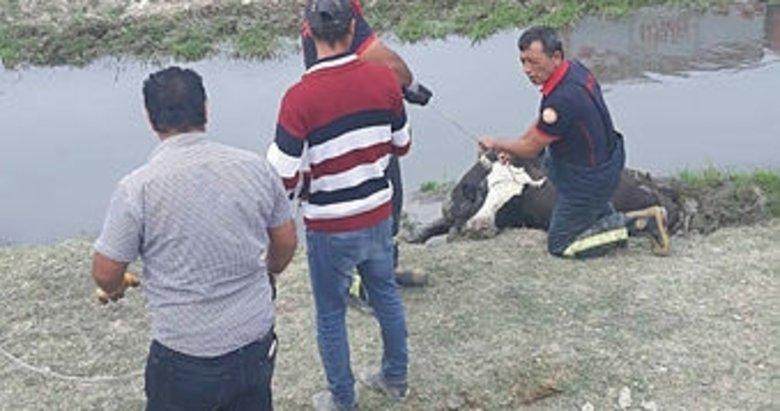 Kütahya'da bataklığa saplanan inekler kurtarıldı