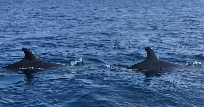 Yalancı katil balinaların Ege'de görülmesinin nedeni ne? Uzman isiminden açıklama