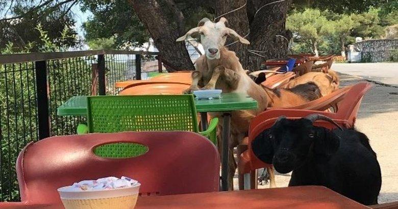 Sevimli keçiler kafeyi bastı