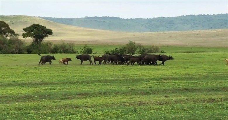 Safaride inanılmaz görüntüler! O anlara tanık oldular
