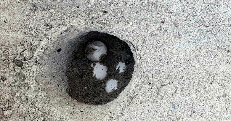 Caretta caretta, Çeşme sahillerine ilk kez yumurta bıraktı