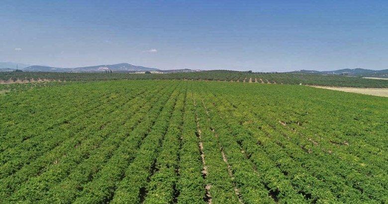 Manisa'da termometreler 42 dereceyi gördü! Üzüm üreticileri asma yapraklarının yanmasından korkuyor