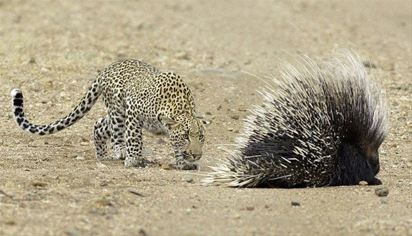 Aç leopar hayatının hatasını yaptı!