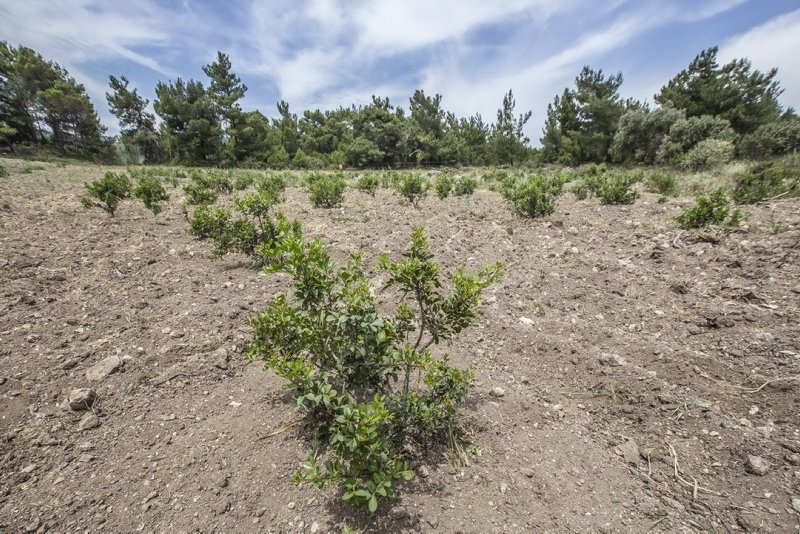 İzmir'de son 5 yılda 90 bin sakız ağacı fidanı toprakla buluştu