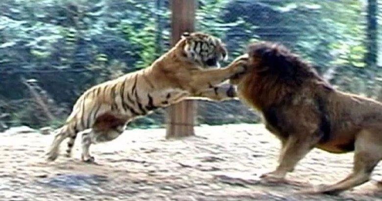 Aslan ve kaplanın dövüşü nefesleri kesti!