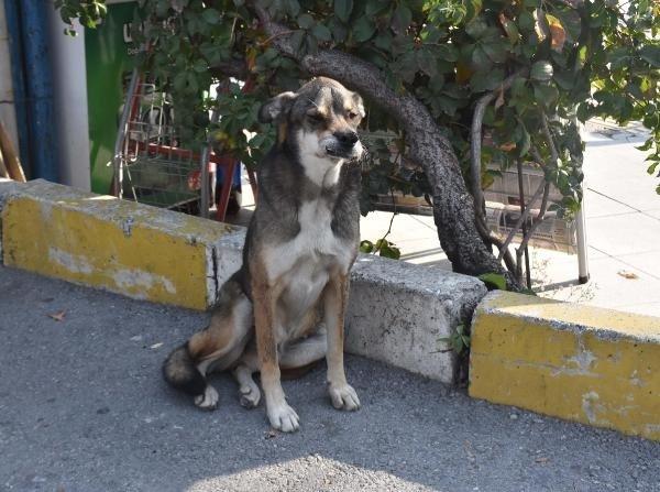 İzmir'de sevimli köpek 'Babür' tedavi bekliyor