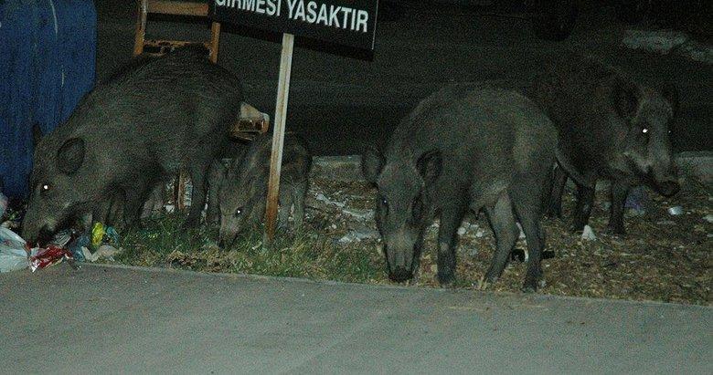 Domuzlar Bodrum'da bir kişiye saldırdı!