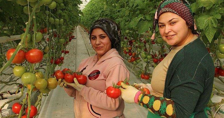 İhracatlık domates üreticinin yüzünü güldürdü! Jeotermal seralarda yetişen domateslerde talep patlaması yaşanıyor