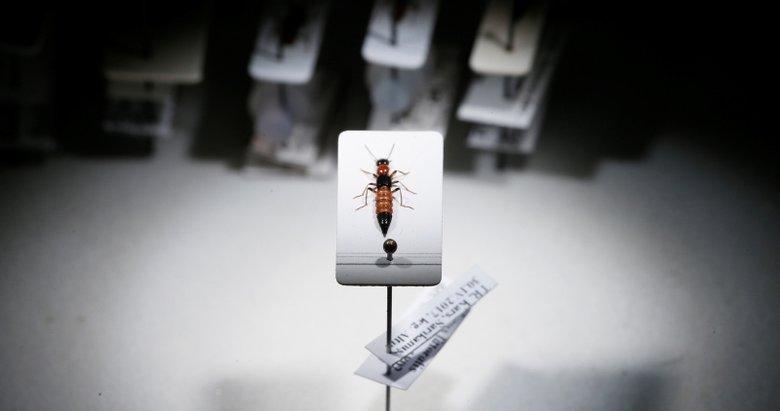 Kanserin ilacı bu böcekte