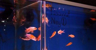 Balıklara 12 farklı ses dinletti! Kuran-ı Kerim ve tasavvuf müziği dinletilenler...
