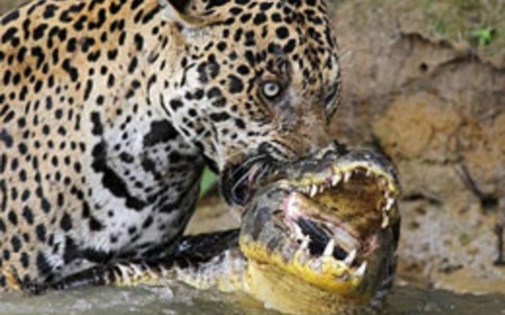 Timsah ve jaguarın inanılmaz karşılaşması nefesleri kesti!