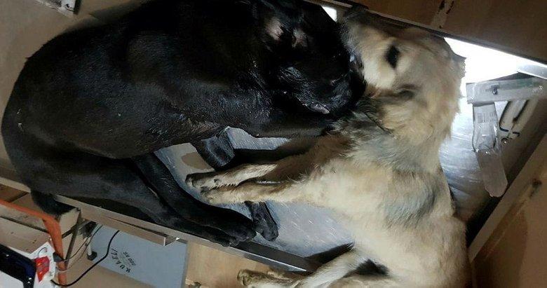Bu ne vicdansızlık! Çanakkale'de hayvan katliamı