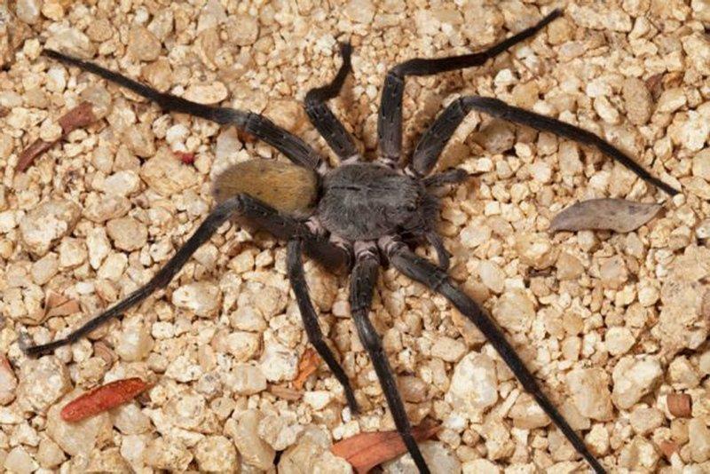Avustralya'da felaketlerin ardı arkası kesilmiyor! Zehirli örümcek uyarısı yapıldı