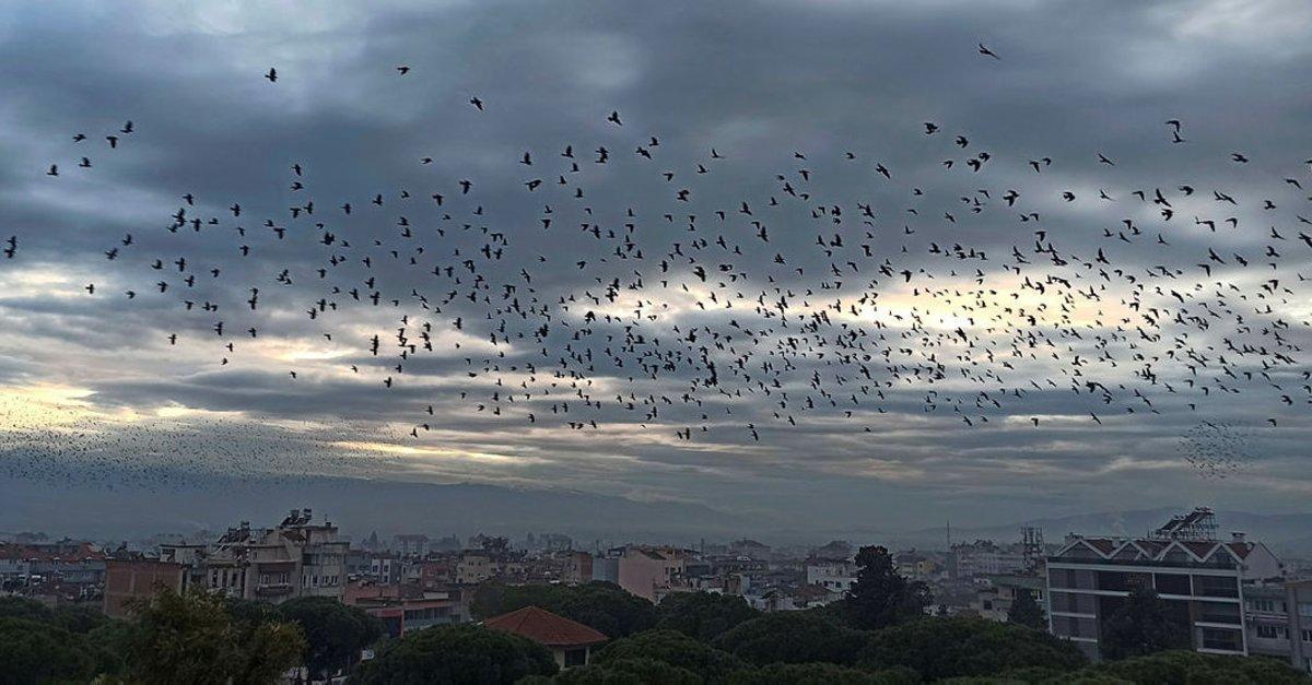 İzmir'de binlerce sığırcık kuşundan görsel şov! İşte o anlar... ile ilgili görsel sonucu