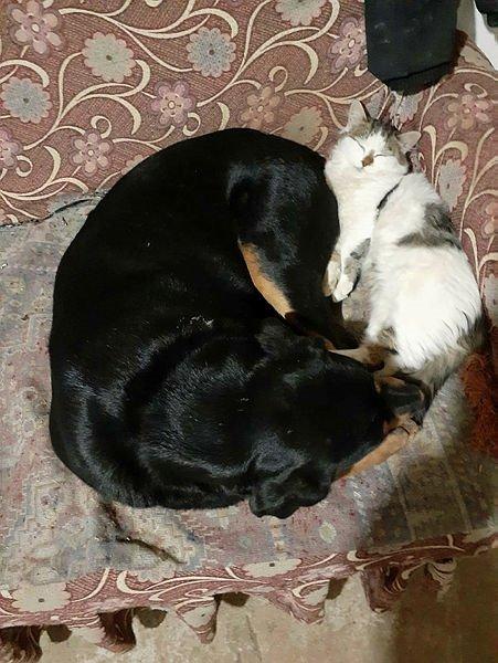 Görenler hayrete düşüyor! Kedi ile köpeğin kıskandıran dostluğu